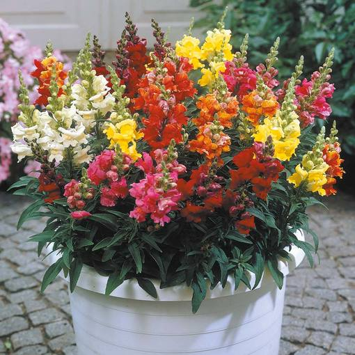 Antirrhinum Liberty Mixed