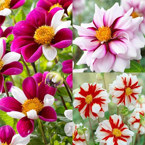 Dahlia Rare and Unusual Collection