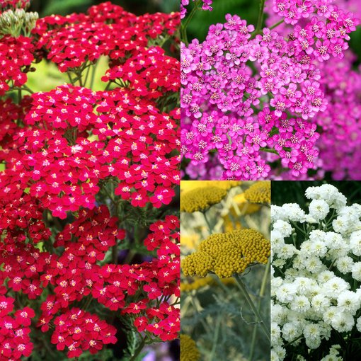 Achillea Collection