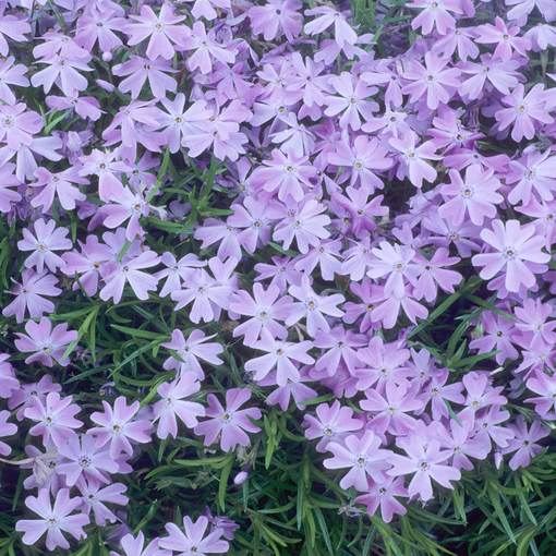 Phlox subulata Emerald Cushion