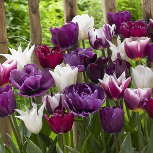 Tulip Purple/White Mixed