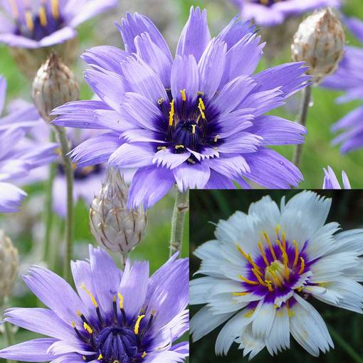 Catananche caerulea Collection