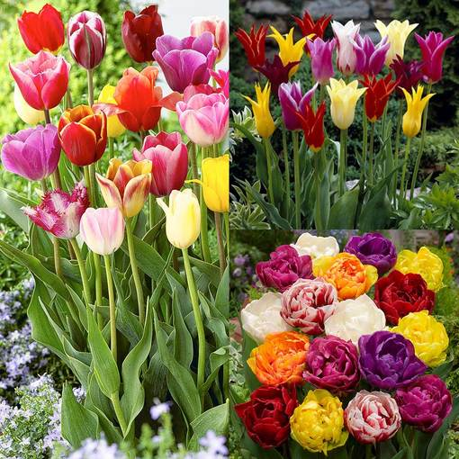 Tulip Mixture Collection