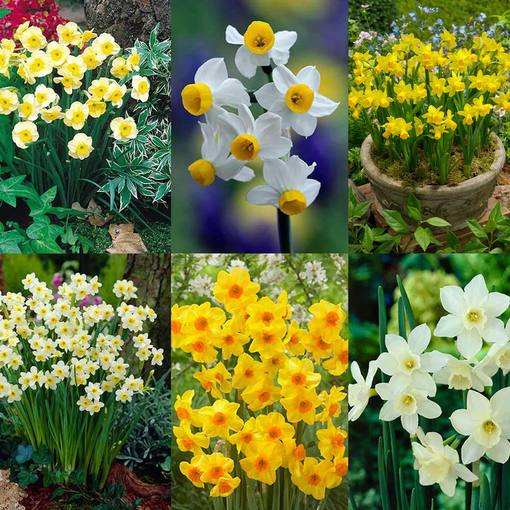 Narcissi Bargain Rockery Collection 8/10cm