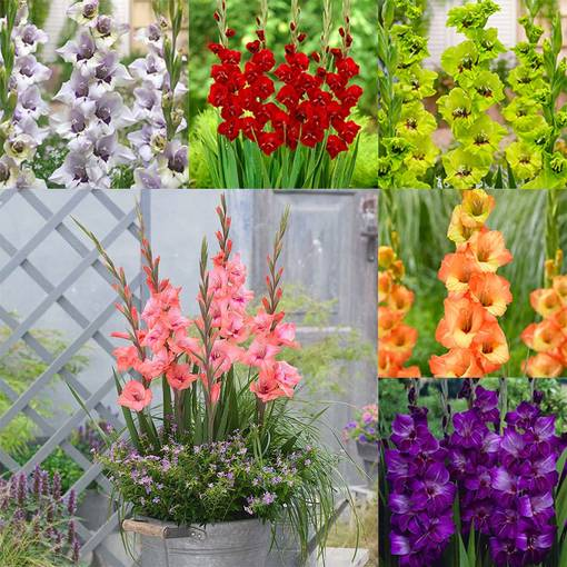Gladioli Dwarf Butterfly Collection