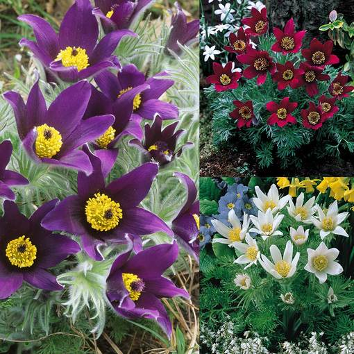 Pulsatilla vulgaris Collection