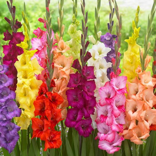 Gladioli Large Flowering Mixed