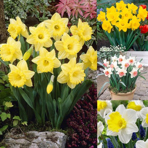 Daffodil Trumpet Collection