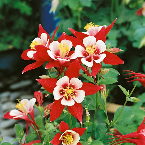 Aquilegia Origami Red/White (Power-Module)