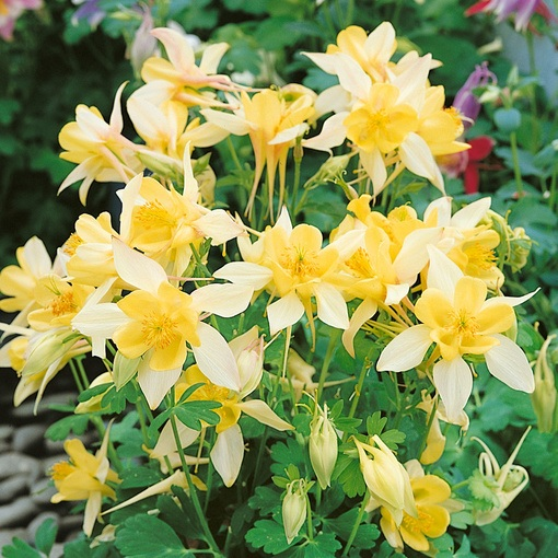 Aquilegia Origami Yellow (Power-Module)