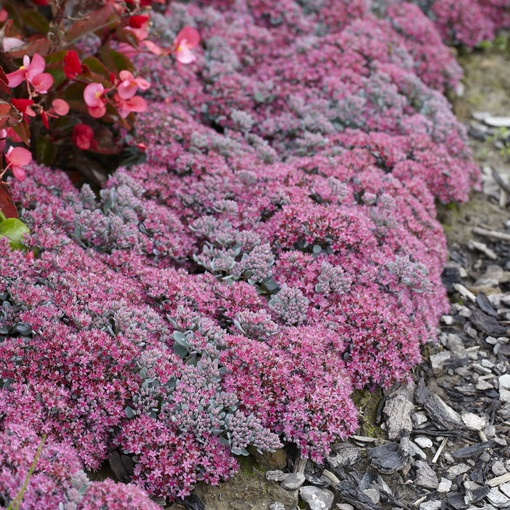 Sedum cauticolum Robustum (Power-Module)
