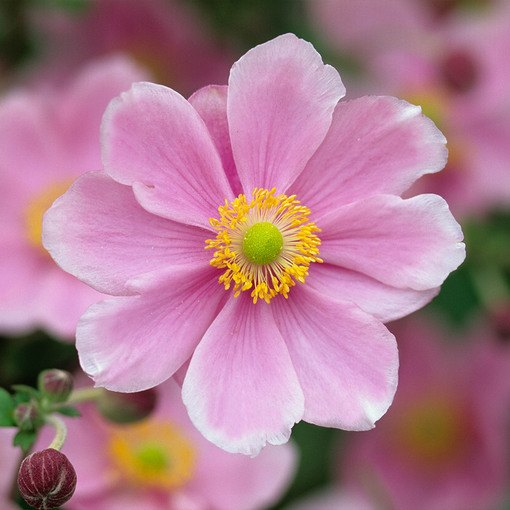 Anemone September Charm (8cm Pot)