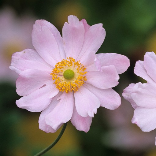 Anemone Queen Charlotte (8cm Pot)
