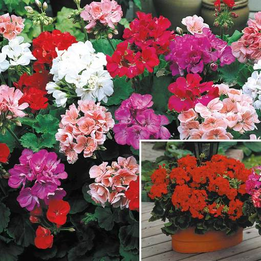 Geranium Century Mixed/Red Collection (GR)