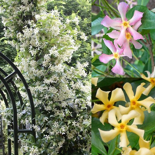 Trachelospermum Collection (Star Jasmine)