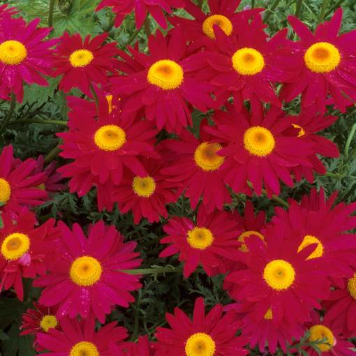 Pyrethrum Red