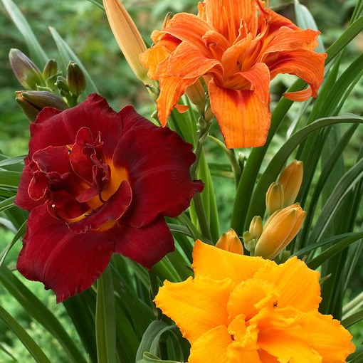 Hemerocallis Double Mixed