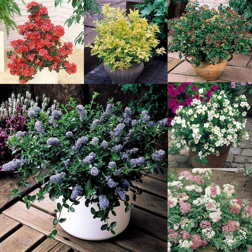 Dwarf Flowering Shrub Collection