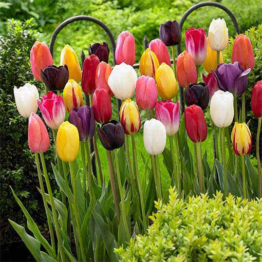 Tulip Long Stemmed Mixed