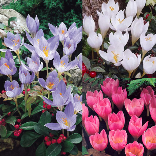 Autumn Crocus Collection
