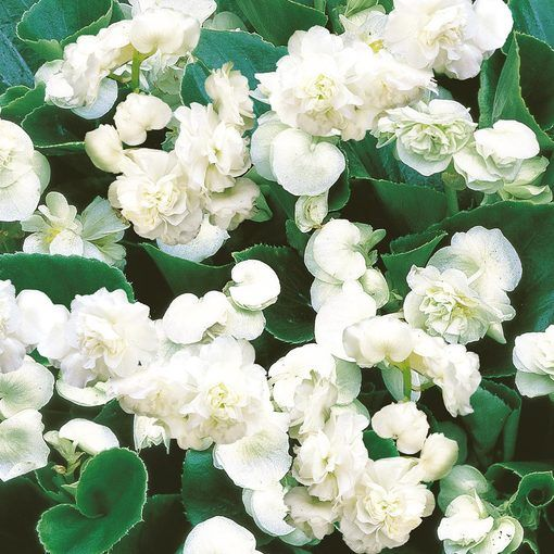 Begonia semperflorens Double Florenzo White