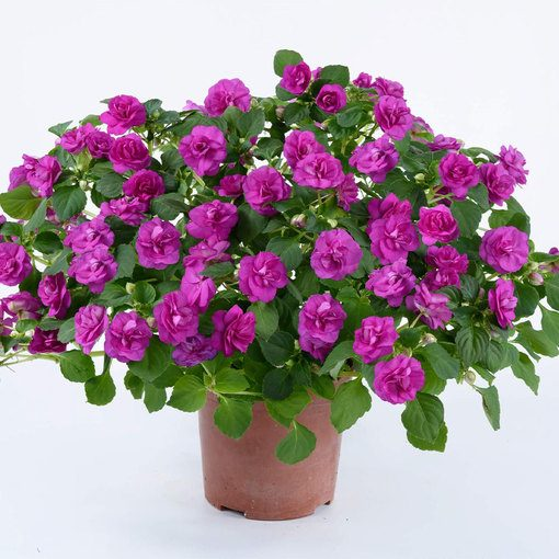 Impatiens Double Diadem Purple