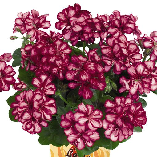 Geranium Great Balls of Fire Burgundy Blaze
