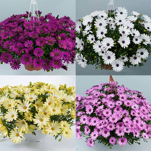 Osteospermum Erato Basket Mixed