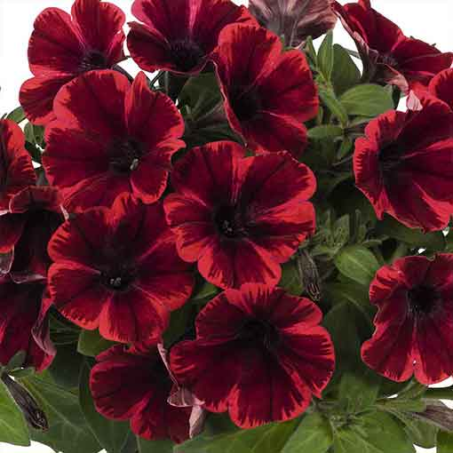 Petunia Sweetunia Fiona Flash