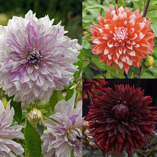 Dahlia Unusual Dinner Plate Collection