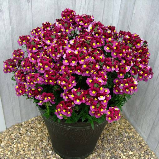 Nemesia Sunpeddle Red Bicolour