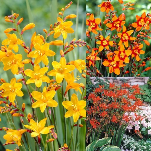 Crocosmia Large Flowering Collection