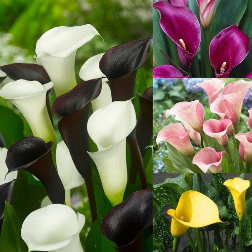 Zantedeschia Collection (Calla Lilies)