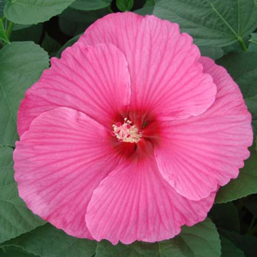 Hibiscus Nippon Pink (Power-Module)