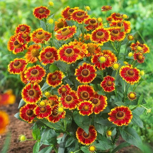 Helenium Zorro Bicolor Shades (Power-Module)