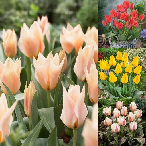 Tulip Greigii Collection