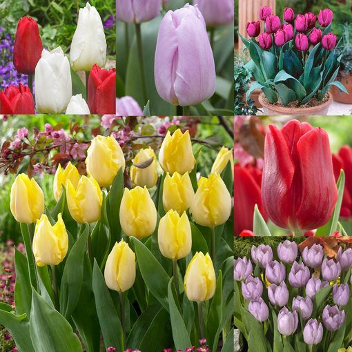 Tulip Prince Collection