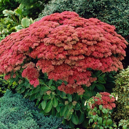 Sedum Autumn Joy (Power Modules)