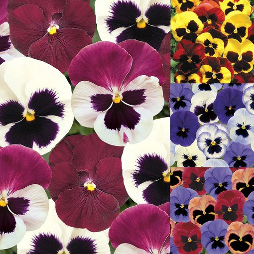 Winter Flowering Pansy Collection