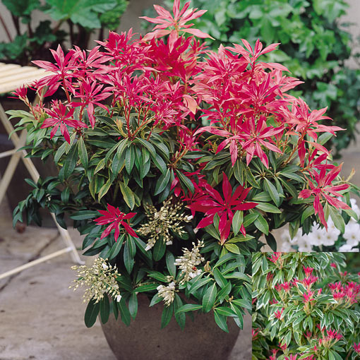 Pieris Patio/Border Collection