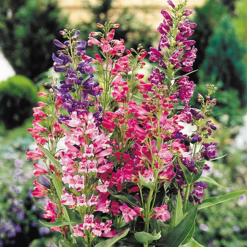 Penstemon barbatus Cambridge Mix