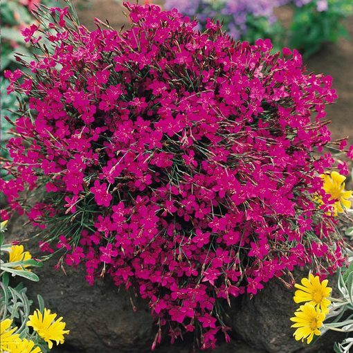 Dianthus deltoides Maiden Pink (7cm Modules)
