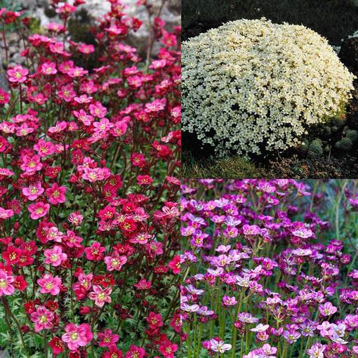 Saxifraga arendsii Collection (3 varieties)