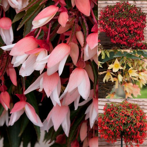 Begonia Starshine Collection