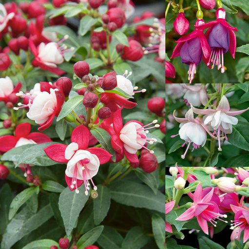 Fuchsia Patio Fairy Mixed