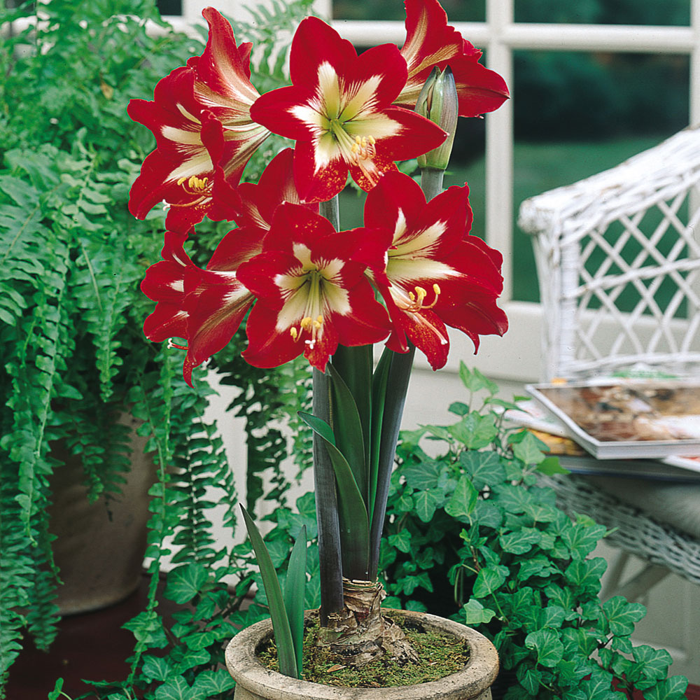 Buy top quality indoor bulbs online j parkers indoor flowering bulbs a z amaryllis izmirmasajfo