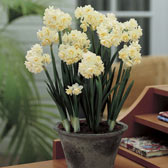 Indoor Narcissi