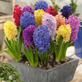 Fragrant Hyacinth Bulbs