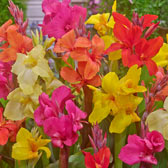 Exotic Canna Bulbs