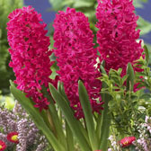 Bedding Size Hyacinth 14/15cm Bulbs